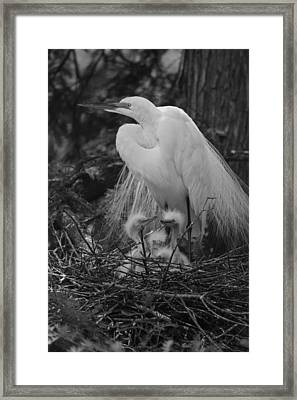 Great White Egret Mom And Chicks In Black Ans White Framed Print by Suzanne Gaff