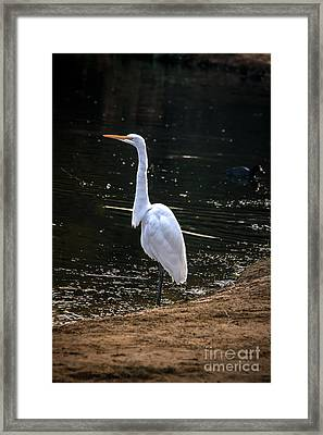 Great White Egret Framed Print by Robert Bales