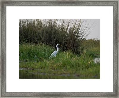 Great White Heron Ardea Alba, Okavango Framed Print by Panoramic Images