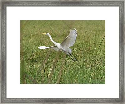 Great White Heron Ardea Alba Taking Framed Print by Panoramic Images
