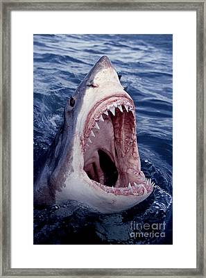 Great White Shark Lunging Out Of The Ocean With Mouth Open Showing Teeth Framed Print by Brandon Cole