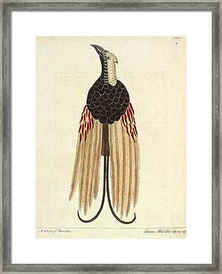 Greater Bird Of Paradise Framed Print by Natural History Museum, London