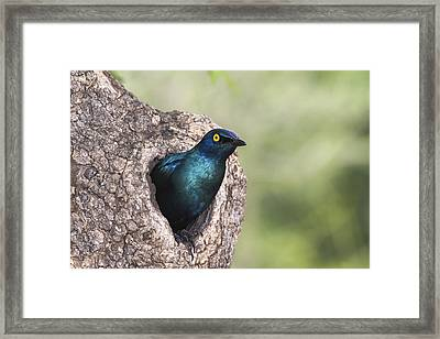 Greater Blue-eared Glossy-starling Framed Print by Andrew Schoeman