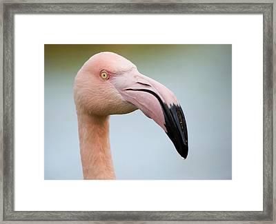 Greater Flamingo Framed Print by Nigel Downer