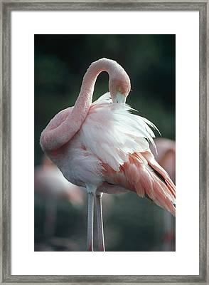 Greater Flamingo Preening Galapagos Framed Print by Tui De Roy