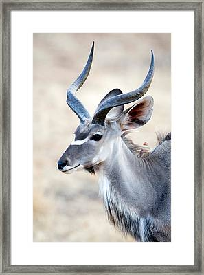 Greater Kudu Tragelaphus Strepsiceros Framed Print by Panoramic Images