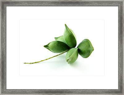 Green Almond Fruit Framed Print by Aged Pixel
