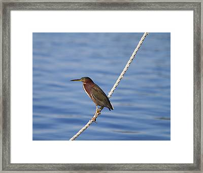 Green Back Heron Framed Print by Kim Hojnacki