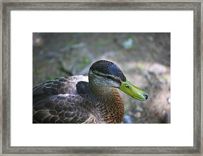 Green-billed Duck Framed Print by John Hoey
