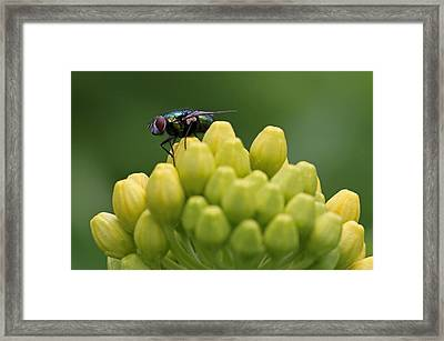 Green Bottle Fly Macro Framed Print by Juergen Roth