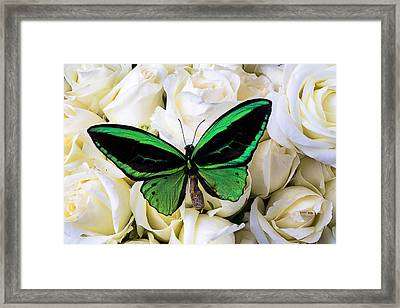 Green Butterfly On White Roses Framed Print by Garry Gay