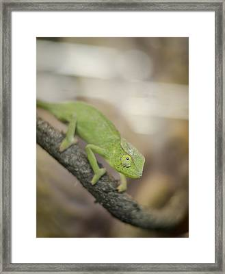 Green Chameleon Framed Print by Heather Applegate