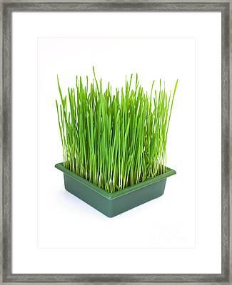 Green Christmas Wheat Framed Print by Sinisa Botas