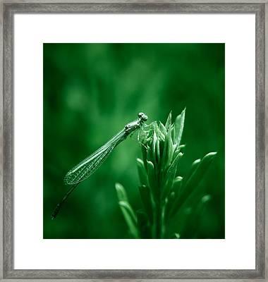 Green Damselfly Framed Print by Shane Holsclaw