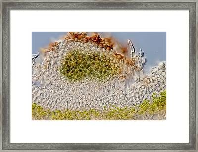 Green Dog Lichen Section Framed Print by Gerd Guenther