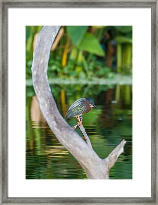 Green Heron On A Crystal Clear Lake Framed Print by Andres Leon