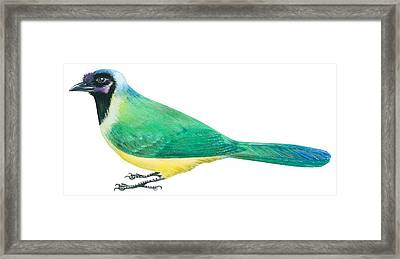 Green Jay Framed Print by Anonymous