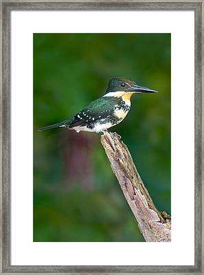 Green Kingfisher Chloroceryle Framed Print by Panoramic Images