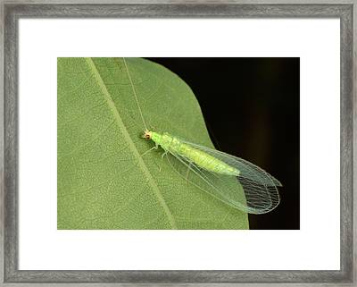 Green Lacewing Framed Print by Nigel Downer
