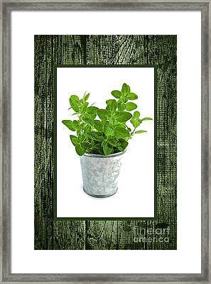 Green Oregano Herb In Small Pot Framed Print by Elena Elisseeva