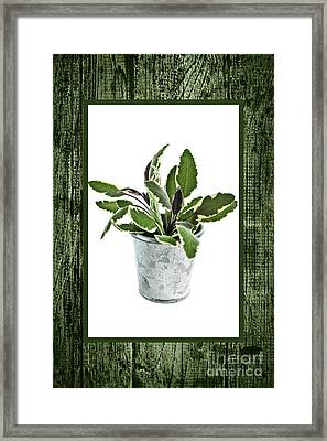 Green Sage Herb In Small Pot Framed Print by Elena Elisseeva
