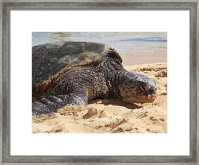 Green Sea Turtle 2 - Kauai Framed Print by Shane Kelly