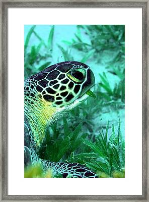 Green Sea Turtle Feeding Framed Print by Louise Murray