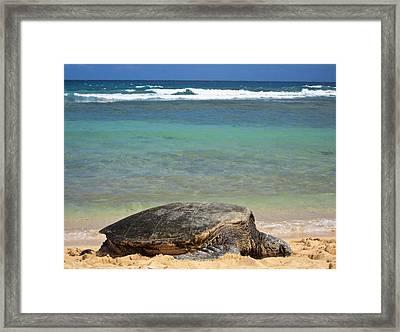 Green Sea Turtle - Kauai Framed Print by Shane Kelly