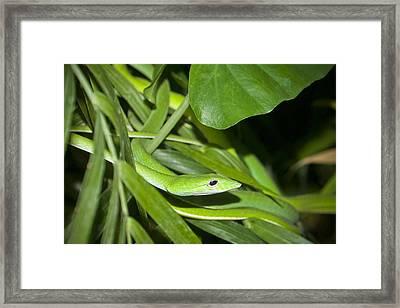 Green Snake Framed Print by Greg Reed