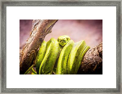 Green Tree Python Framed Print by Pati Photography