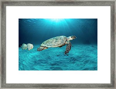 Green Turtle And Circular Spadefish Framed Print by Georgette Douwma