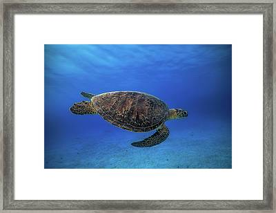 Underwater Diva Framed Print featuring the photograph Green Turtle In The Blue by Barathieu Gabriel