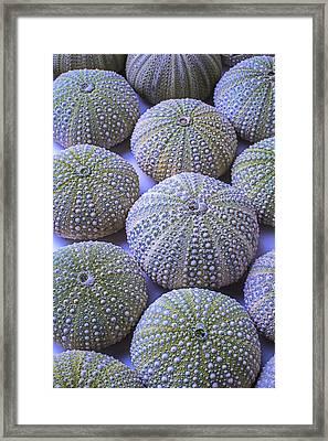 Green Urchins Framed Print by Garry Gay