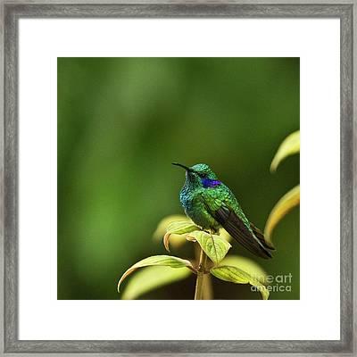 Green Violetear Hummingbird Framed Print by Heiko Koehrer-Wagner