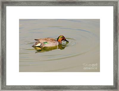 Green-winged Teal At Feeding Time Framed Print by Debra Martz