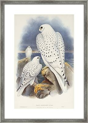 Greenland Falcon Framed Print by John Gould