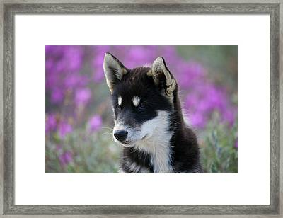 Greenland, Sisimiut, Young Husky Dog Framed Print by Aliscia Young
