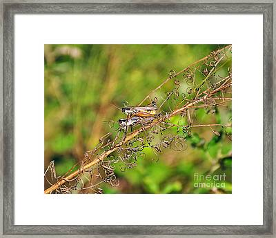Gregarious Grasshoppers Framed Print by Al Powell Photography USA
