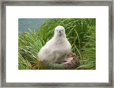 Grey-headed Albatross Chick S Georgia Framed Print by