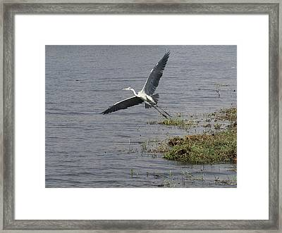 Grey Heron Ardea Cinerea Flying Framed Print by Panoramic Images