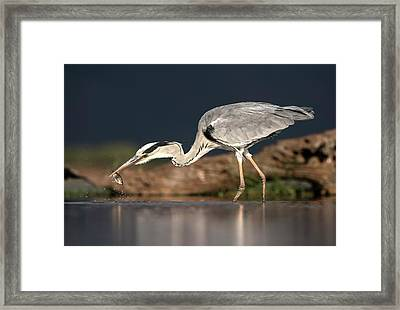 Grey Heron With A Fish Framed Print by Tony Camacho