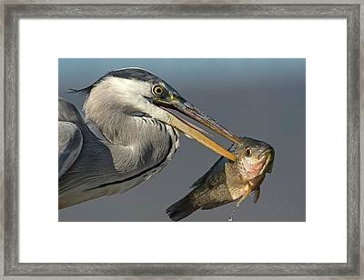 Grey Heron With Fish In Its Bill Framed Print by Tony Camacho