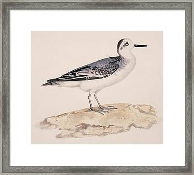 Grey Phalarope, 19th Century Framed Print by Science Photo Library
