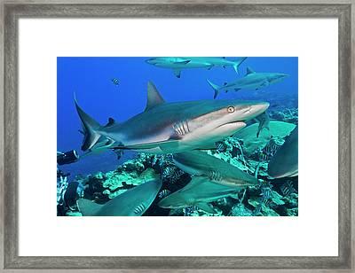 Grey Reef Sharks  Carcharhinus Framed Print by Dave Fleetham