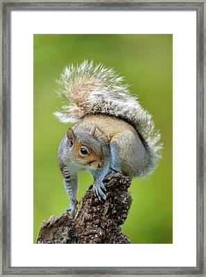 Grey Squirrel Framed Print by Dr P. Marazzi