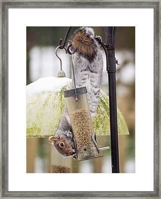 Grey Squirrel (sciurus Carolinensis) Framed Print by Ashley Cooper