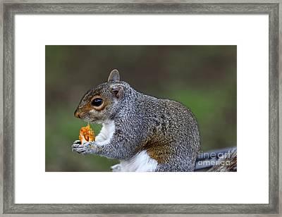 Grey Squirrel Tucking In Framed Print by James Brunker