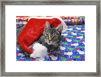 Grey Tabby Cat With Santa Claus Hat Framed Print by Thomas Kitchin & Victoria Hurst