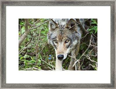 Grey Wolf Hunting For Snow Shoe Hare Framed Print by Thomas Sbamato