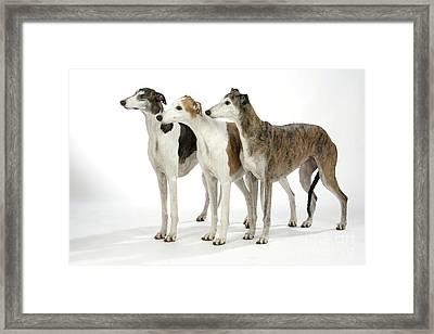 Greyhound Dogs Framed Print by John Daniels